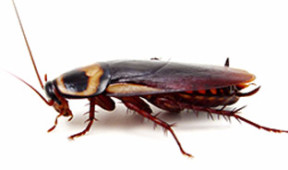 cockroach control in singapore